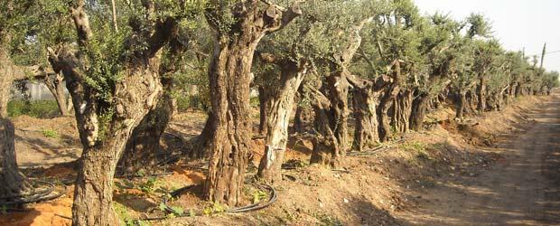 תמונה של עצי זית בוגרים שנעקרו ועתה בתהליך איקלום לפני מכירה.