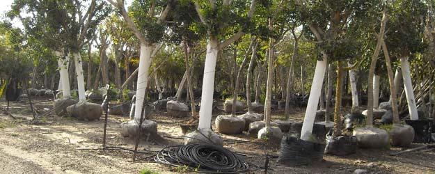עצים בוגרים במיכלי איקלום