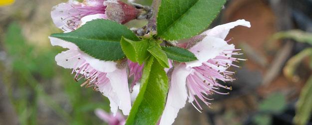פרח עץ נשיר. משתלת וונדי (אילוסטרציה)
