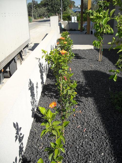 בחזית הבית גדר חיה של צמחי היביסקוס