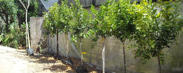 הנחיות לבחירת עצי פרי איכותיים במשתלה